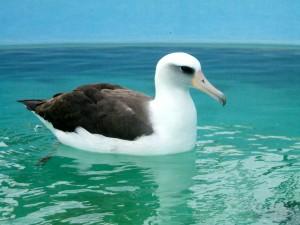2012-01-31_Albatross-300x225