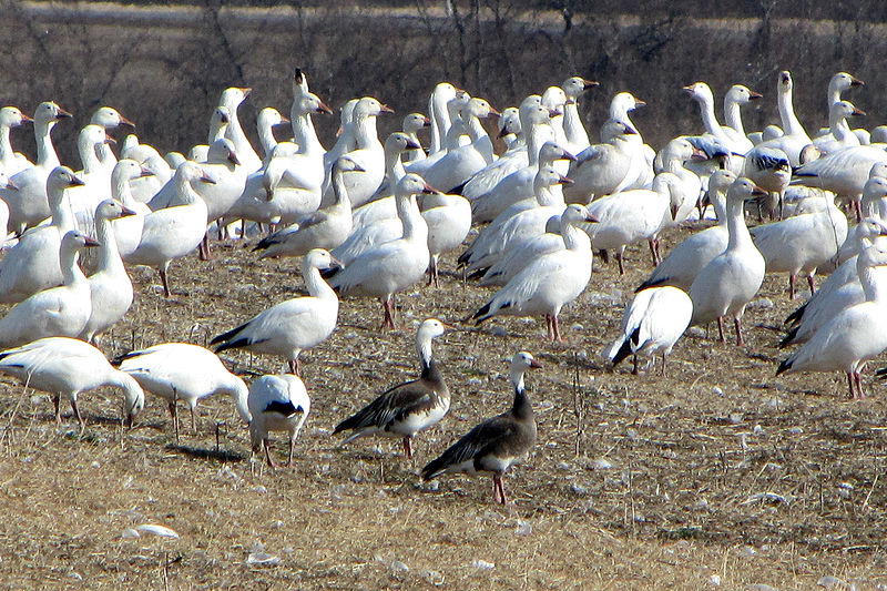 800px-Greater_Snow_Geese