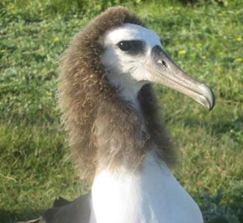 abe_lincoln_albatross