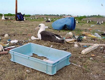 albatross-plastics-midway-atoll-jh-ibr-420px_419x318