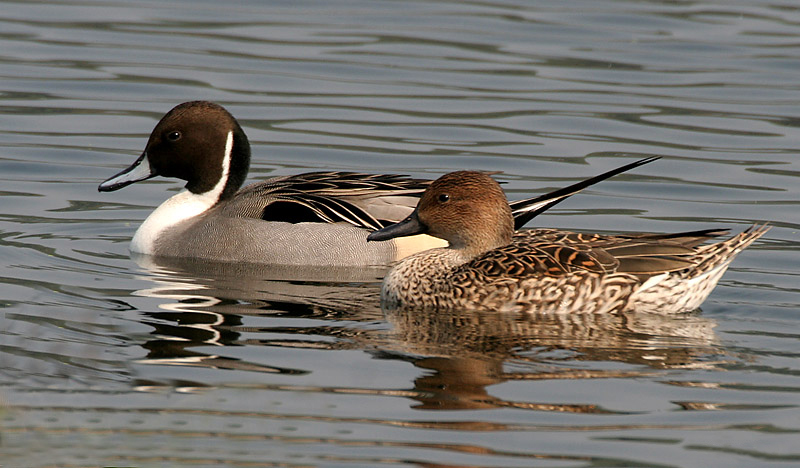 Northern_Pintails_(Male_&_Female)_I_IMG_0911