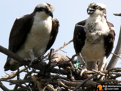 osprey_couple_home_page