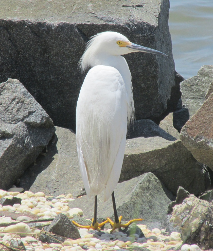 snowy egretcropped