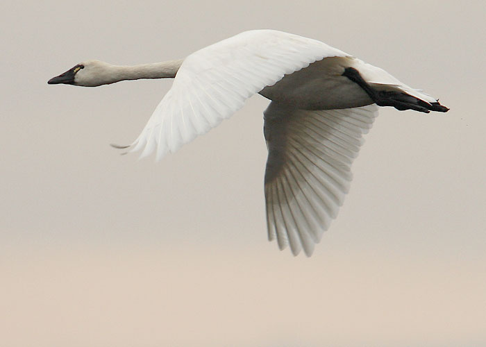 Tundra-Swan-Flying