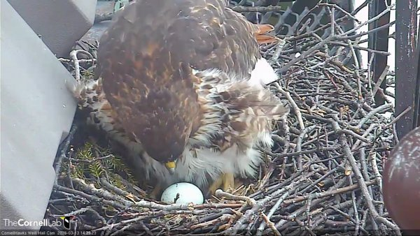 3-13 BR lays her first egg