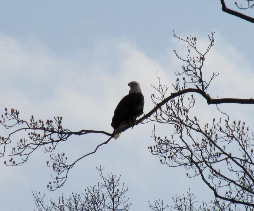 3-6-16 bald eagle