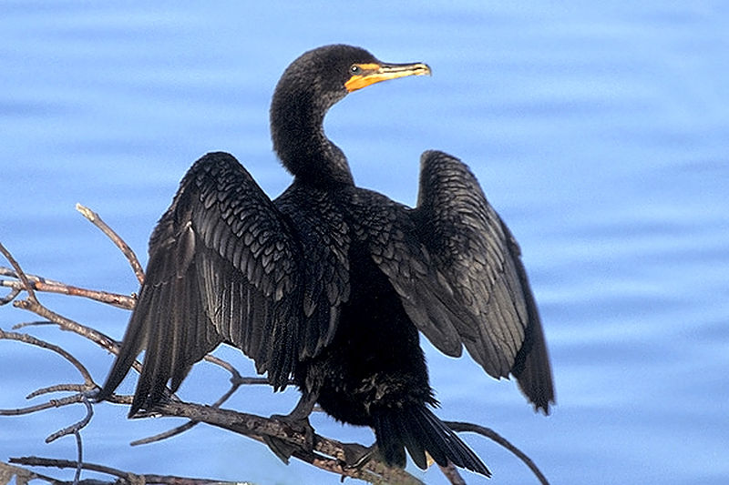 800px-Double-crested_Cormorant_at_Ding_Darling_NWR