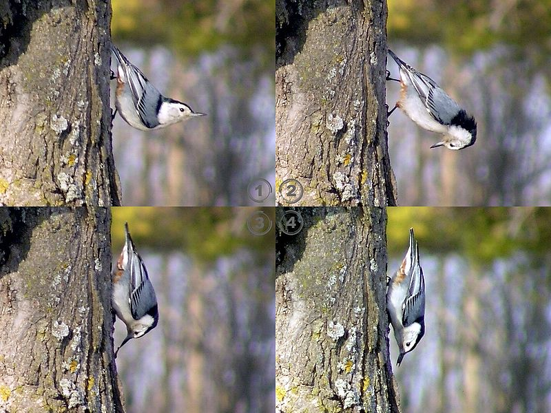 800px-White-Breasted_Nuthatch_Lunch