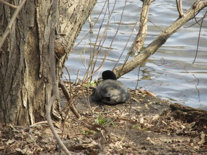 American Coot taking a rest (Image by BirdNation)