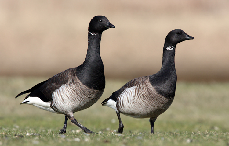 Brant Geese-SS
