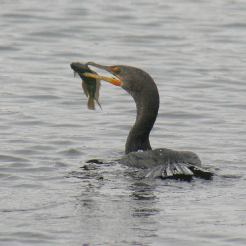 double-crested-cormorant-fishing-1a