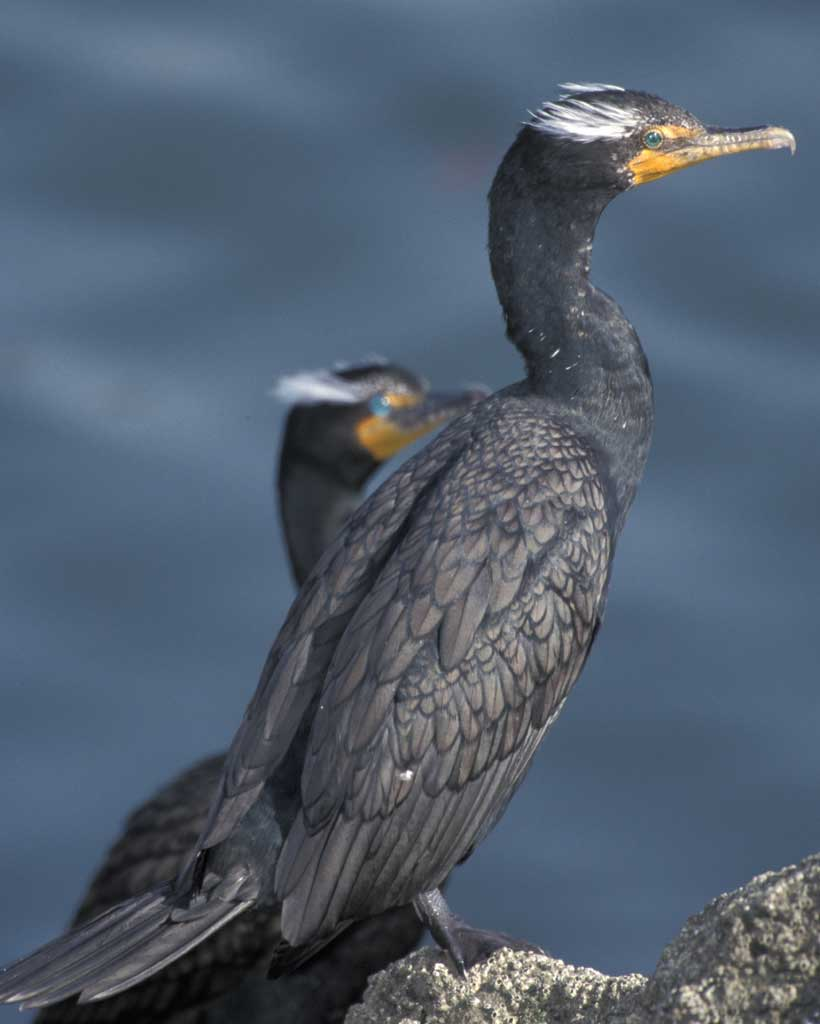 Double-crested_Cormorant_f20-5-024_l