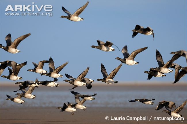 Flock-of-brent-geese-flying-over-beach