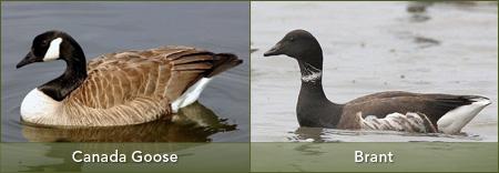 goose-brant-sm