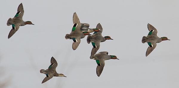 greenwing_DSC3215_600