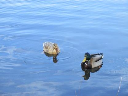 Hen and Drake Mallard (Image by BirdNation)