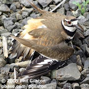 killdeer-broken-wing-phil-gilston-300
