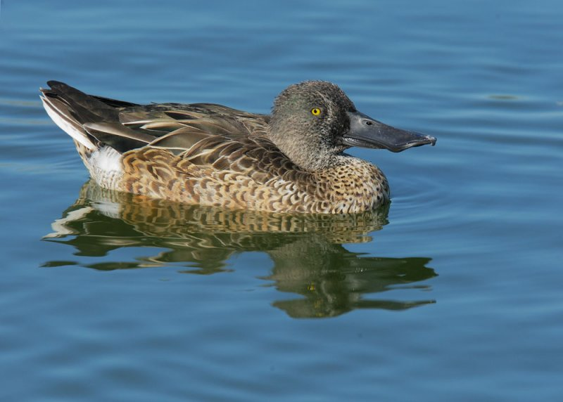 male shoveler eclipse plumage