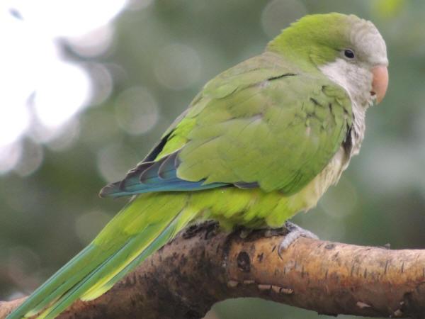 Monk-Parakeet