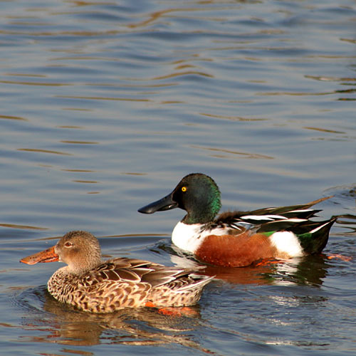 northern-shoveler-pair-1a
