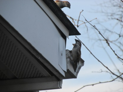 This and female House Sparrows didn't want to be bothered by the guy on the roof (Image by BirdNation)
