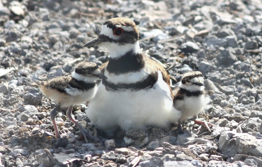 vancouver_killdeer_three_chicks_07-22-10