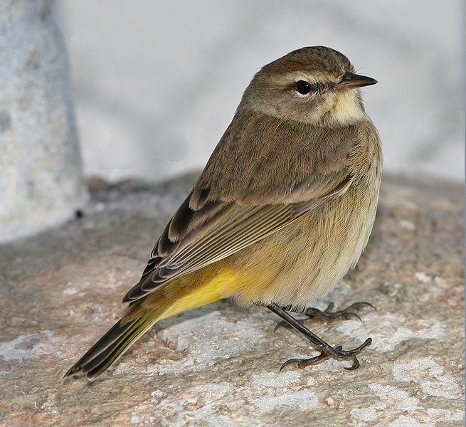 655px-Western_Palm_Warbler