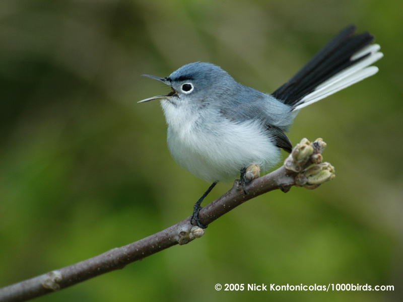blue-gray-gnatcatcher19717