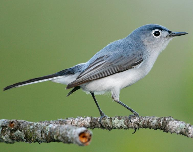 blue-gray-gnatcatcher5