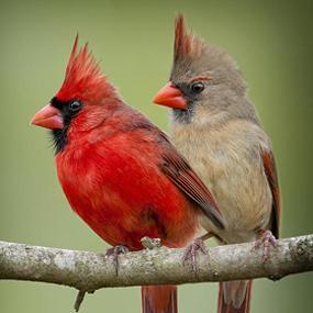 cardinal-pair-sideways-bonnie-t-barry-285