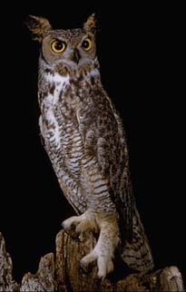 Great Horned Owl CalPhotos1