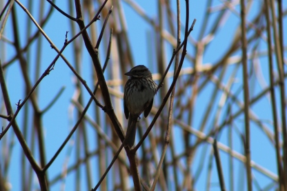 Song Sparrow (Image by David Horowitz)