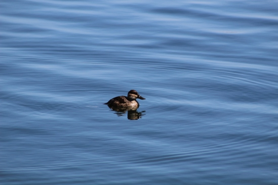 Ruddy Duck (Image by David Horowitz)