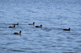 American Coot flock (Image by David Horowitz)