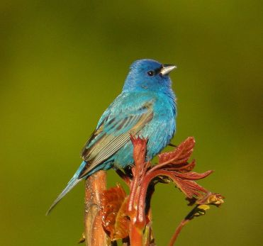 Male Indigo Bunting (Image by Kevin Bolton via wikipedia)