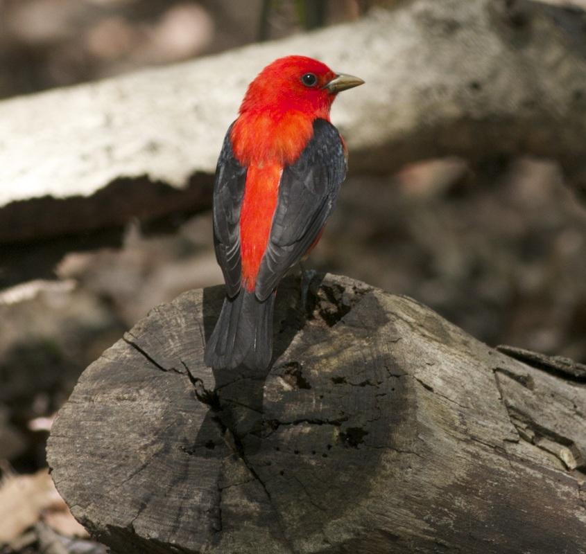 Image of: Cornell Lab Male Scarlet Tanager image Via Birdingaroundnyccom Birdnation Wordpresscom Scarlet Tanager Migration Monday Birdnation