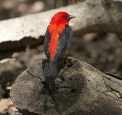 Male Scarlet Tanager (Image via birdingaroundnyc.com)