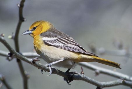 Adult Female Baltimore Oriole (Image by USFWS via wikimedia commons)