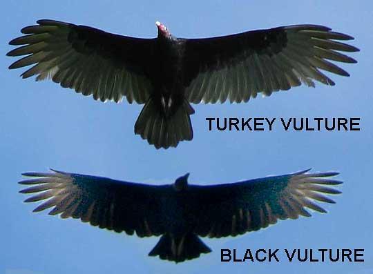 America_Black_Vulture-Turkey_Vulture-silhouettes