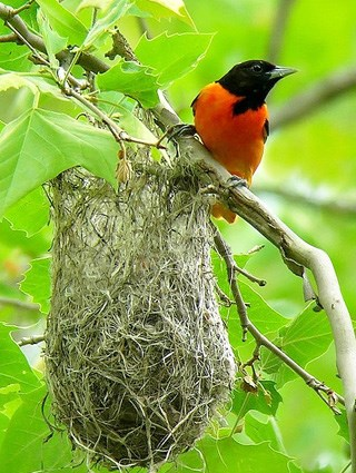 baltimore_oriole_7