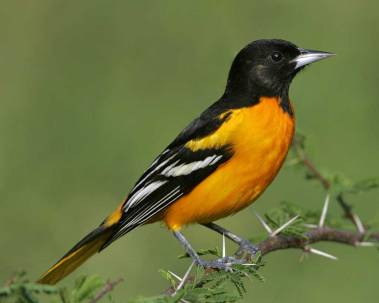 Adult Male Baltimore Oriole (Image by Brian E. Small/VIREO via audubon.org)
