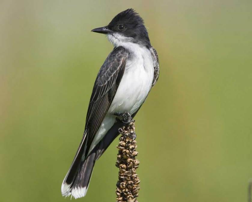 Eastern_Kingbird_b13-42-050_l_1