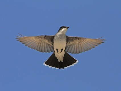eastern_kingbird_howardpowell