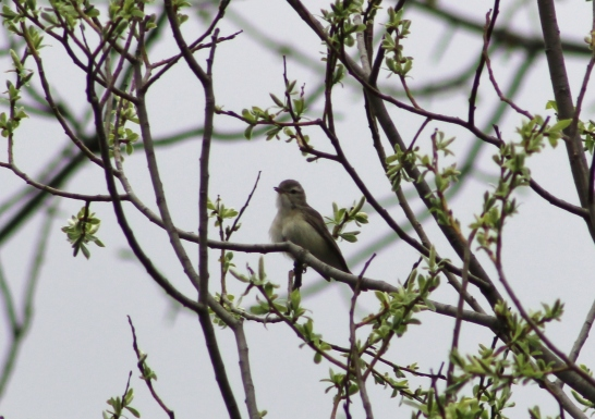Warling Vireo (Image by BirdNation)