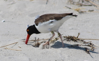 American Oystercatcher (Image by BirdNation)