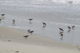 Sanderling flock (Image by David Horowitz)