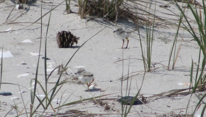 Two plover chicks (Image by David Horowitz)
