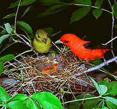 scarlet-tanger-breeding