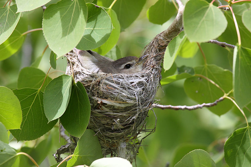 Warbling-vireo-on-nest-09-0615