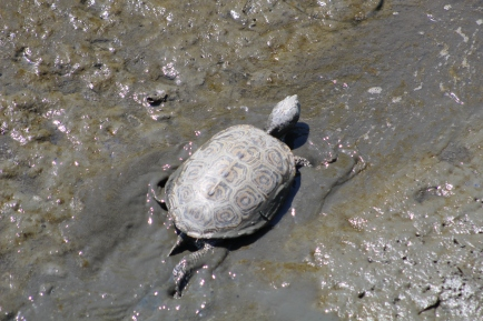 Turtle on the go! (Image by David Horowitz)